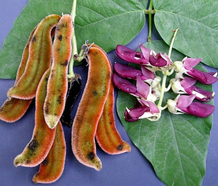 Facts about Mucuna Pruriens Before You Get Started